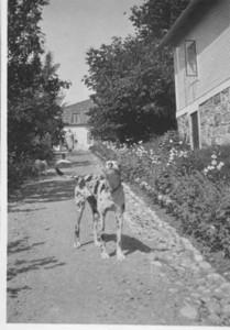 En hund på Gistgårdsbacken