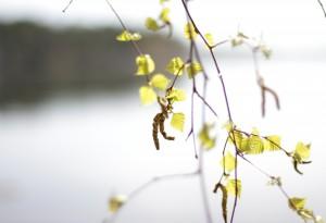 Björkhängen om våren